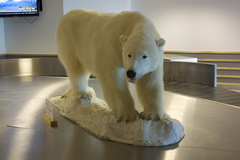 Welcome to Svalbard from the polar bear at the airport at Longyearbyen